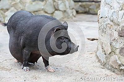 怀孕的大肚子猪,居住在农场的动物.图片