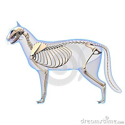 腰部骨骼固)�_猫最基本的解剖学-猫骨骼的解剖学-侧视图.