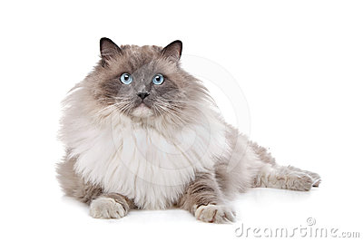 猫ragdoll