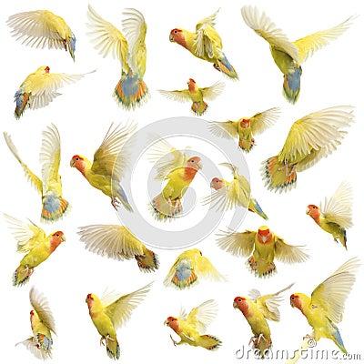 玫瑰色面对的爱情鸟飞行的构成