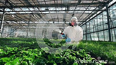 生物学家洗涤有化学制品的温室植物 股票录像
