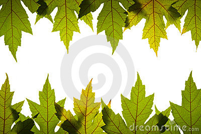 由后面照的绿色留下槭树红色静脉