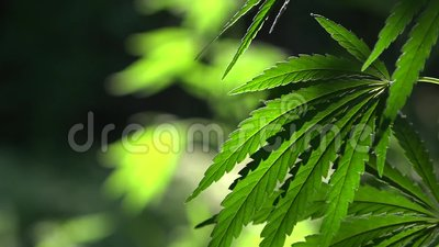 由后面照,平衡轻的大麻叶子 绿色叶子发光在阳光下 在阳光下,大麻摇摆 绿色,大麻大板料