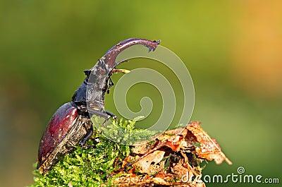 甲虫少见雄鹿