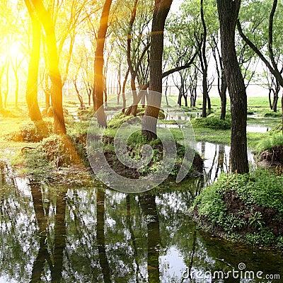 白杨树森林