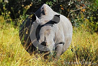 白犀属犀牛simum白色
