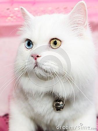 白色波斯猫两种颜色的眼睛