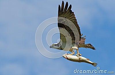 白鹭的羽毛和鳟鱼