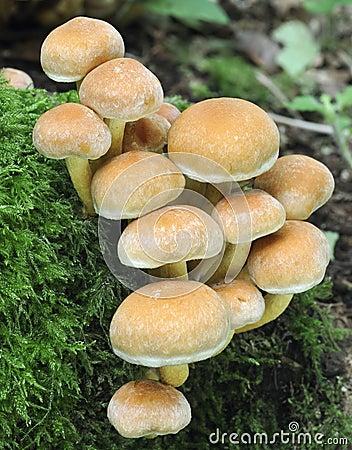 真菌硫磺一束