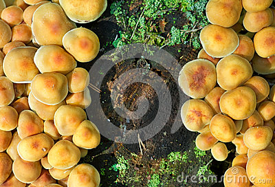 硫磺一束真菌