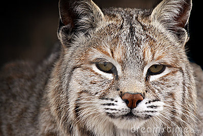 秀丽美洲野猫