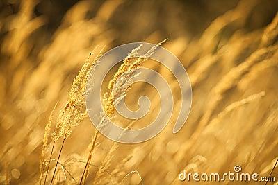 草比黄色图片网站_秋天特写镜头干草夏天日落黄色.