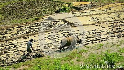 种田犁与黄牛,农场在Sapa,越南,原始拖拉机