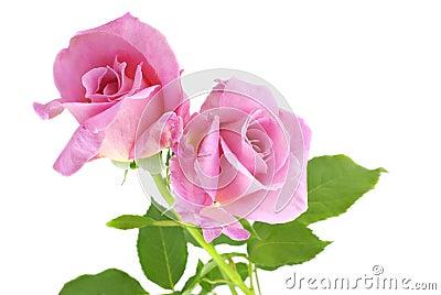 空白背景桃红色的玫瑰