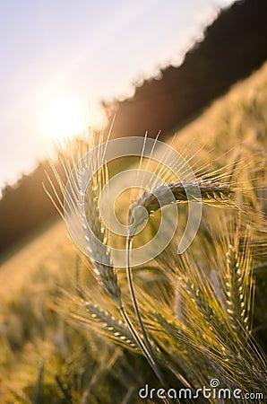 站立在麦田外面的少量麦子耳朵