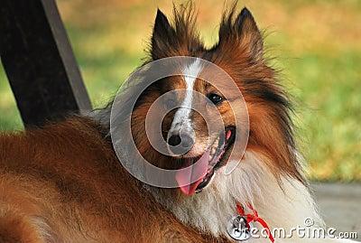 粗砺的大牧羊犬