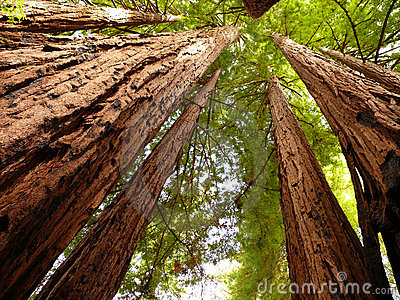 红木结构树