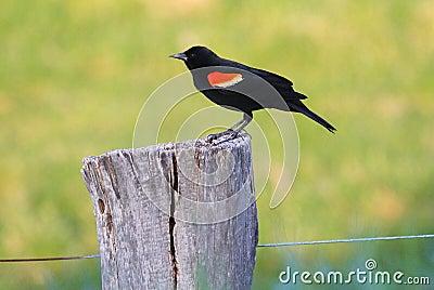 红翼的黑鹂