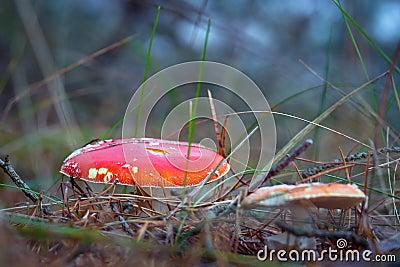 红色伞菌在森林里