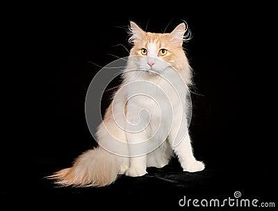 纯血统挪威森林猫图片
