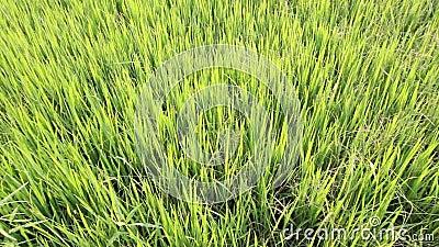 绿色米领域, mornign时间 股票录像