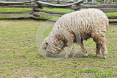羊毛内衣的羊羔