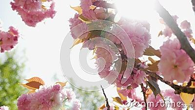 美丽的开花的桃红色樱花在日本庭院里
