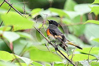 美国人Redstart鸣鸟