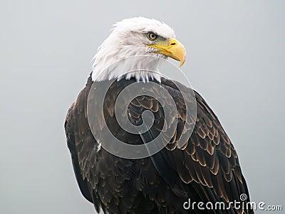 美国白头鹰