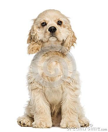 美国美卡犬小狗开会和凝视