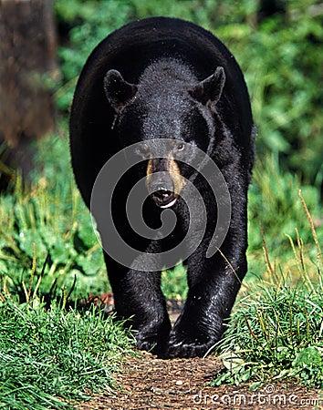 美国美洲的熊黑色熊属类
