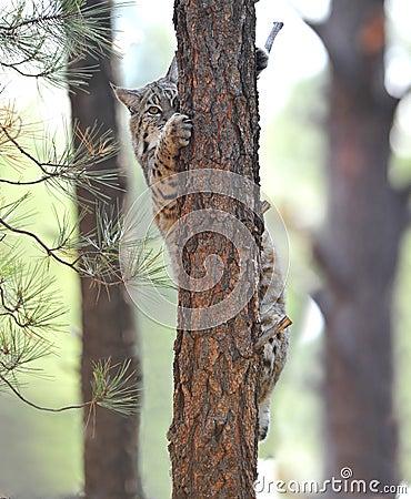 美国美洲野猫爱达荷nat北部公园黄石