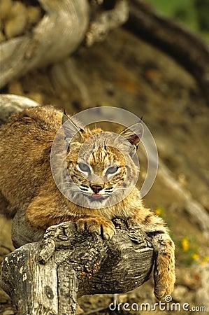 美洲野猫日志