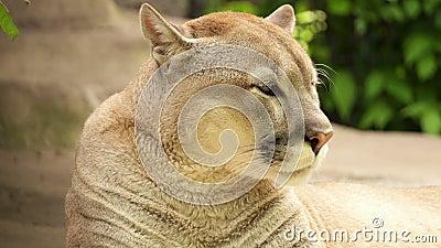 美洲狮美洲狮说谎在岩石的美洲狮休息在它的小室附近在狩猎以后在大树下在森林里 影视素材