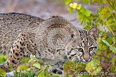 美洲野猫偷偷靠近