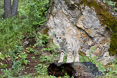 美洲野猫日志身分