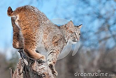 美洲野猫(天猫座rufus)与在他的毛皮的雪在树桩突出