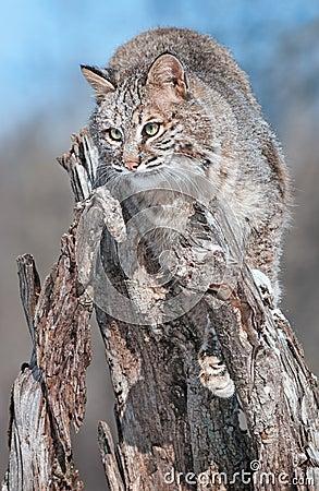 美洲野猫(天猫座rufus)在斯诺伊树桩吻合