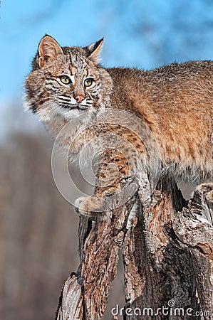 美洲野猫(天猫座rufus)在树桩启用