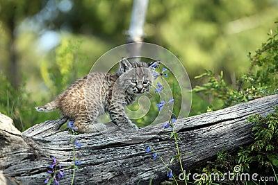 美洲野猫年轻人