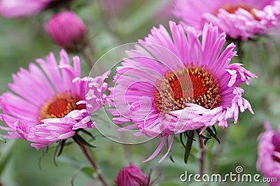 翠菊四季不断的粉红色