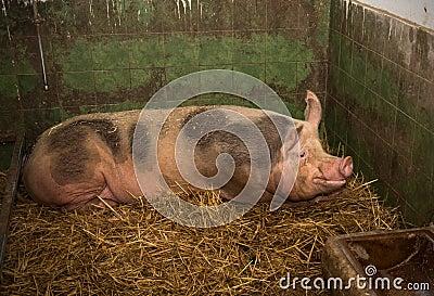 老母猪 库存照片 - 图片: 51538206图片