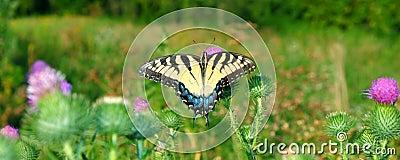 老虎Swallowtail在伊利诺伊