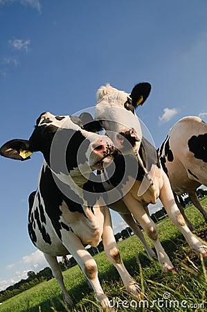 聊天的母牛