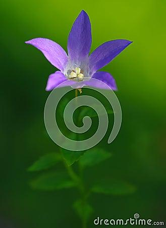 背景会开蓝色钟形花的草绿色