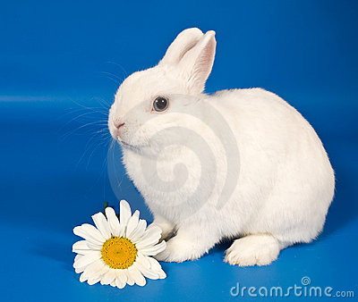 背景大蓝色以后的雏菊兔子符号白色年.图片