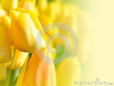 背景明亮的花郁金香黄色