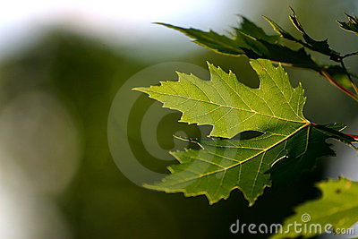 背景绿色留下槭树