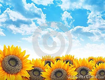 背景美丽的明亮的花向日葵