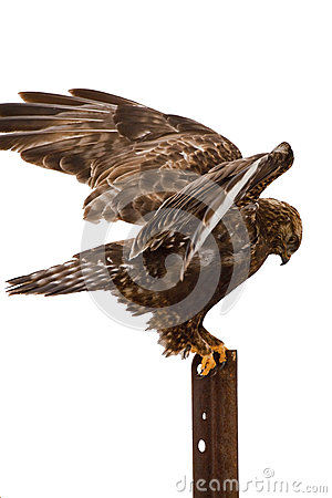 腿上有毛的鹰着陆被隔绝的白色